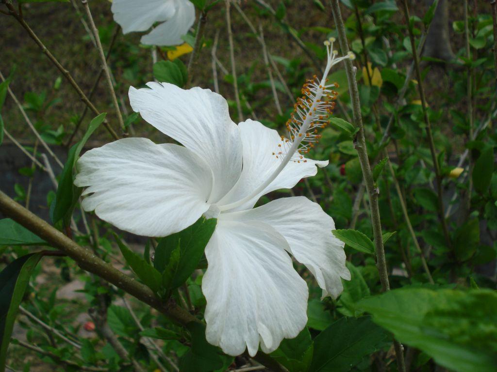 Hibiscus dainty white flower white hibiscus flower a photo on hibiscus dainty white flower white hibiscus flower izmirmasajfo