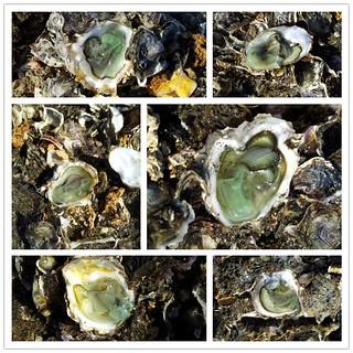 食品毒理和環境毒理的觀點大不相同,以綠牡蠣為例,銅中毒的致毒量,和吃多少綠牡蠣會致毒的量就差異極大。也因此造成環保署與衛生署訂定標準的衝突。圖片來源:桃園觀音綠石蚵,黃俊男攝