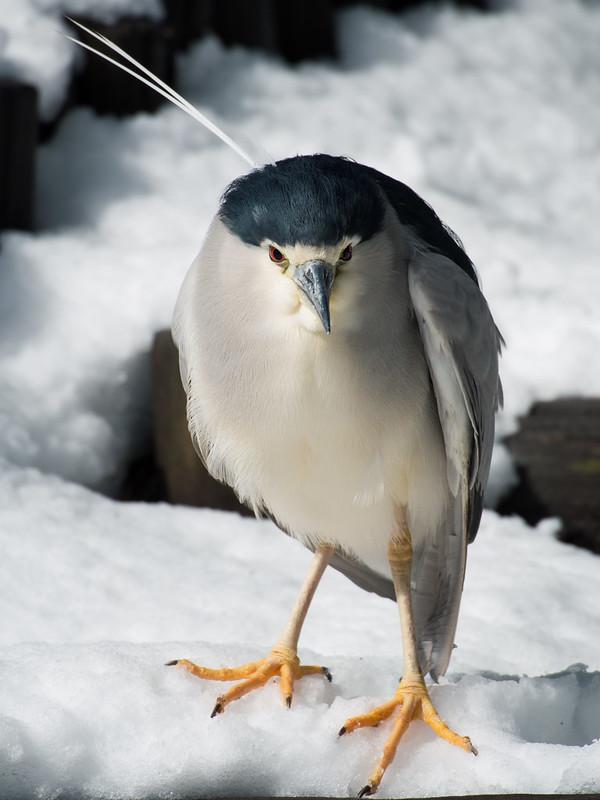 Night heron(ゴイサギ)