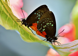 Mating Atala Butterflies, Fairchild Tropical Botanic Garden.