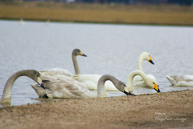 水田の白鳥
