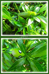 Fat green caterpillar on Dwarf Tabernaemontana divarcata (Pinwheel Flower, Crepe Jasmine), Feb 26 2014