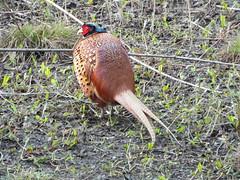 fowl(0.0), wild turkey(0.0), animal(1.0), pheasant(1.0), fauna(1.0), bird(1.0), wildlife(1.0),