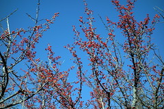 2014-01-19 Red berrier+blue sky at Arbor Hills - DSC03275