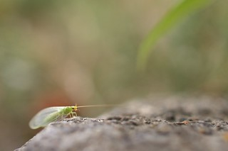 A green lacewing in Shitenno-ji temple.