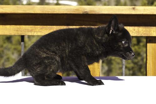 Nami-Litter1-Day54-Puppy1-Female(Kiyomi)-3