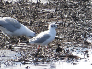 Bonaparte's Gull by SpeedyJR