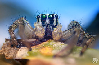 Male Jumping Spider