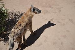 viverridae(0.0), meerkat(0.0), animal(1.0), mammal(1.0), hyena(1.0), fauna(1.0), wildlife(1.0),