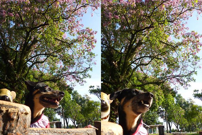 Flowering Trumpet Trees at Sembawang Park