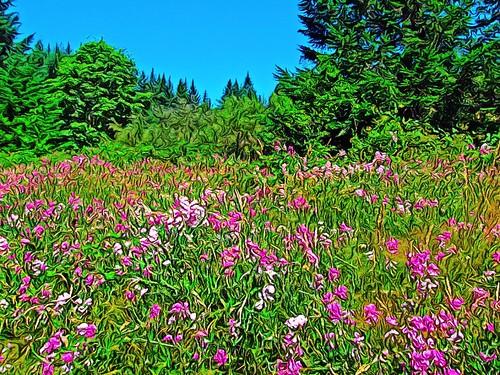 Sweetpeas in bloom