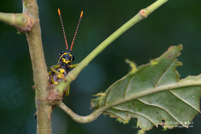 Grasshopper (Caelifera) - DSC_5379