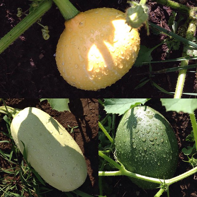 Three kind of squash. Don't know what they are. Don't know when they're ready to pick. Don't really know what to do with them all. #squashproblems