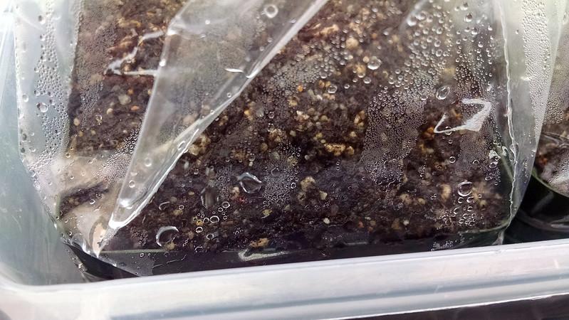 Drosera tomentosa seedling.