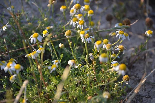 Chamaemelum fuscatum - anthémis précoce 32086221413_0daeb8a9d4_z