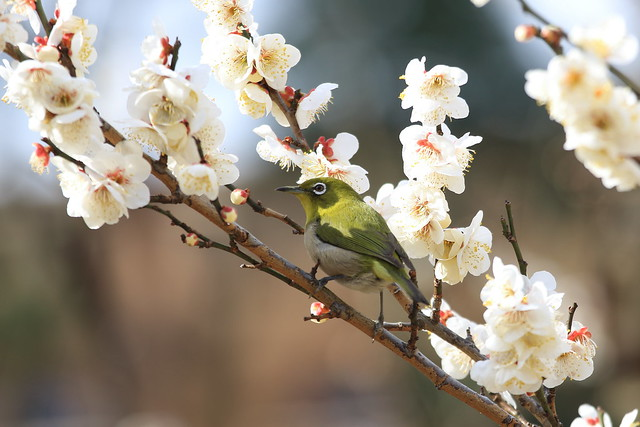 Japanese White Eye in Plum Tree Garden