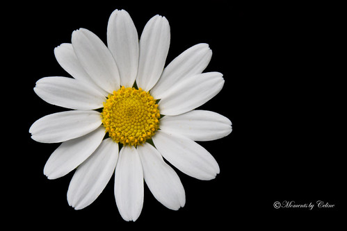 Daisy on Black