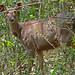 Sambar Deer (Tim Melling)