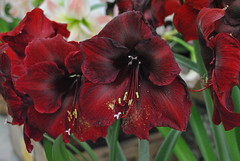 amaryllis belladonna(0.0), flower(1.0), red(1.0), gladiolus(1.0), petal(1.0),