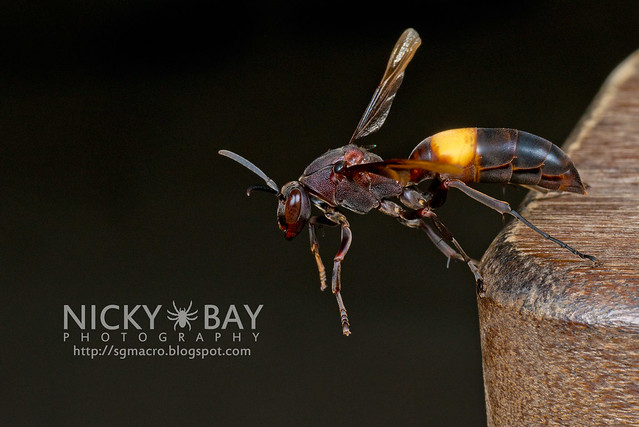 Paper Wasp (Polistes sagittarius) - DSC_7415