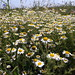 Wild Flower fields by just1snap