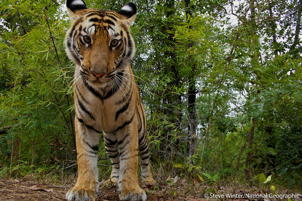 Up close and personal view of a wild tiger in Madhya Pradesh, India