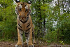 "Our pic of the day is an up close & personal view of a wild tiger in Madhya Pradesh, India, taken by Panthera's Media Director, Steve Winter, using a remote controlled camera! See how this image was captured in Steve's NatGeo Live Lecture, 'Robot vs Tiger' @ bit.ly/USVVZO The video includes a portion of Steve's 2011 presentation ""On the Trail of the Tiger"" which can be seen in full @ bit.ly/z1qV4L"