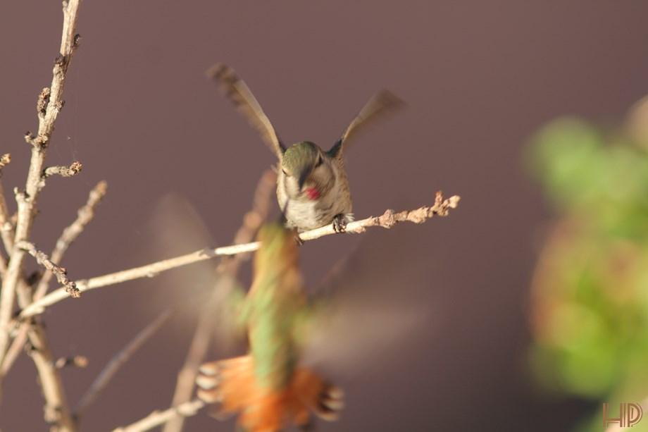immature Anna's Hummingbird 072313-4