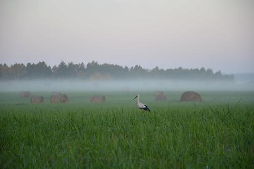 morning nature grass fog landscape meadow latvia stark rīts siens pļava migla stārķis hayrools