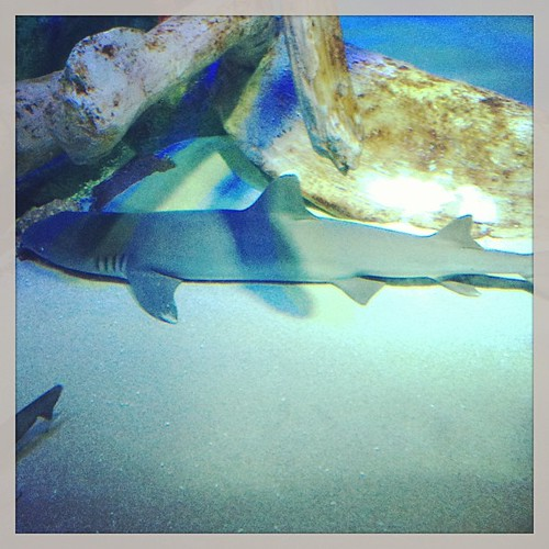 Sharks #sealifearizona