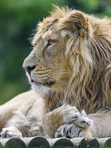 Asiatic lion profile by Tambako the Jaguar