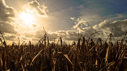 light sunset wallpaper england sun sunlight blur clouds rural landscape glow glare close cheshire pov farm widescreen low farming perspective farmland gleam crops 169 lowdown kenyon iphone culcheth iphone5 applecrypt