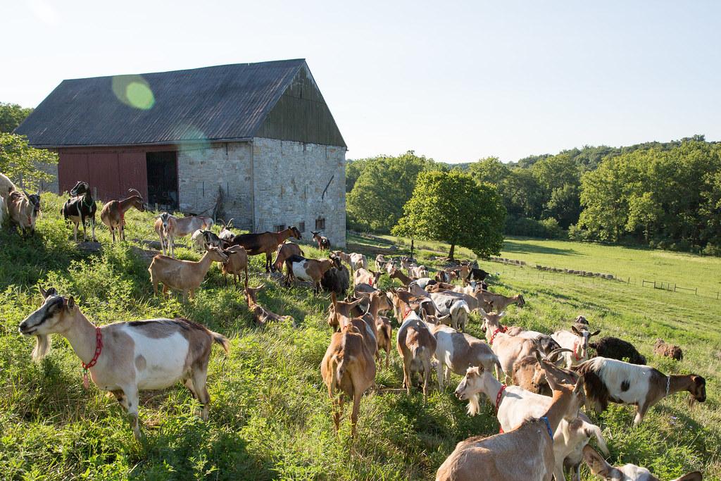 Field of Goats at Spriggs Delight Farm Goat Cheese in Sharpsburg Maryland