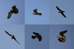 animal migration, animal, bird of prey, perching bird, wing, fauna, buzzard, accipitriformes, bird, flight,