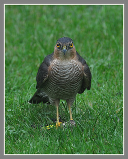 Male Sparrowhawk in my back garden