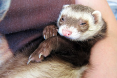 animal, weasel, mustelidae, mammal, polecat, whiskers, black footed ferret, ferret,