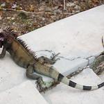 Striped iguana