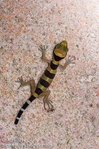 Cyrtodactylus bintangtinggi IMG_4786 copy