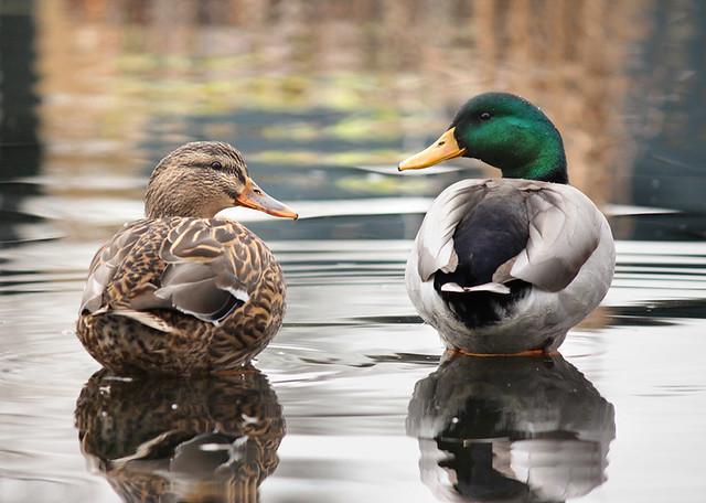 Ducks at Salish Park