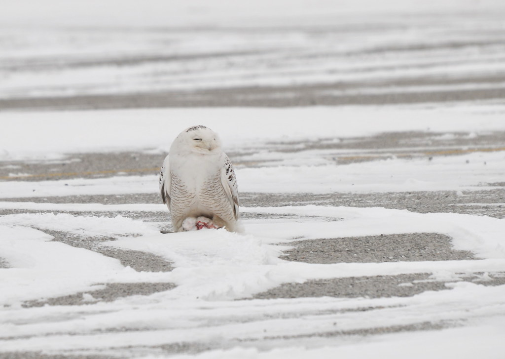 Snowy Owl Squinting