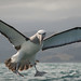 Angry Albatross by Judi Mowlem Photography