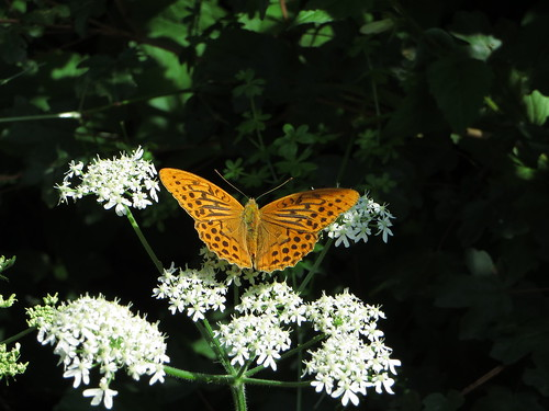 20130814 06 144 Jakobus Blüte weiß Blume Schmetterling gelb orange