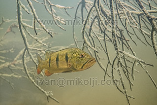 Stock Photo Cichla orinocensis Peacock bass Images DSC06747