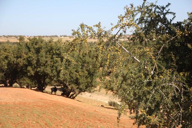 239 - Camino a Essaouira