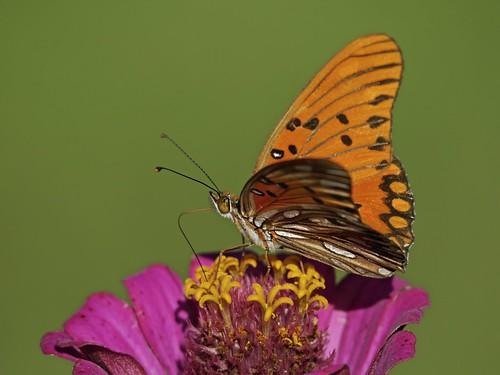 Mariposa Espejitos en el Jardín Botánico 2014