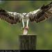 FL Osprey