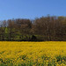 Field Of Gold Revisited by br1078phot