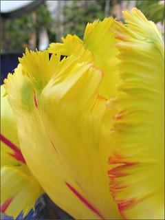 Ruffled tulip petals