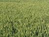 English Corn