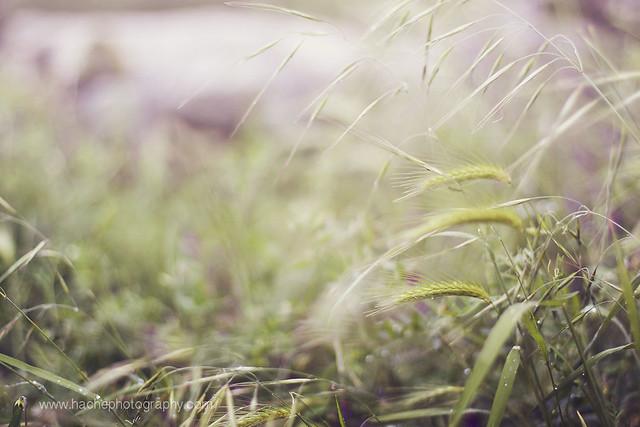 Espigas de primavera